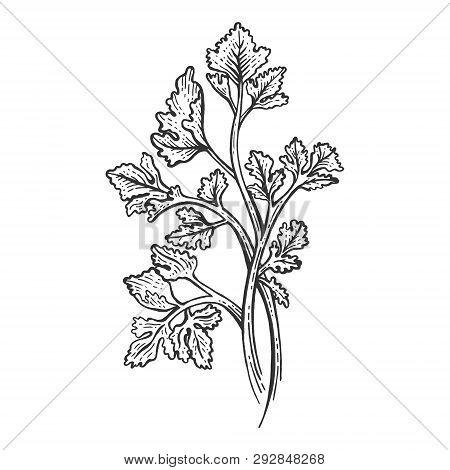 Cilantro Coriander Parsley Green Herb Spice Sketch Engraving Vector Illustration. Scratch Board Styl