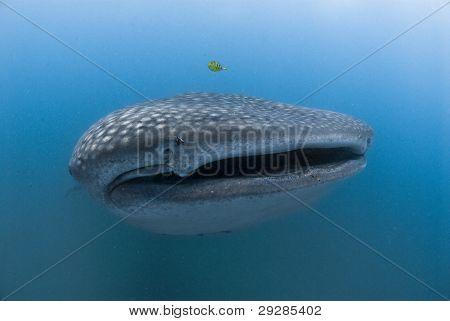 Peculiar tiburón ballena