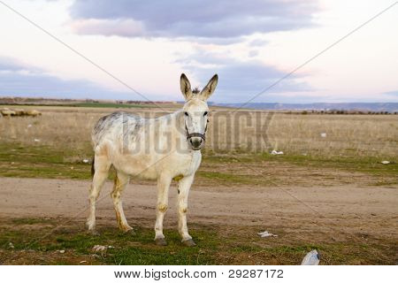 Donkey in a Field in sunny day poster