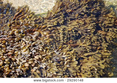 Seaweeds floating near the sea shore at Chipiona, Spain poster