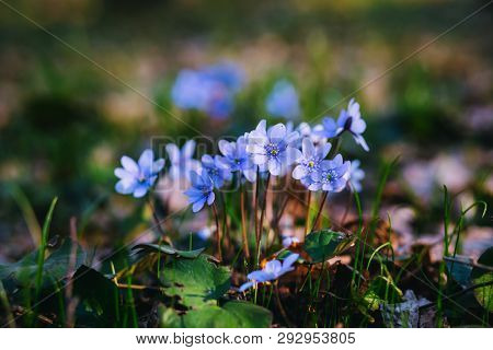 Ground level view of lovely flowers in the woods. Concept of the ecology. Selective focus, blurred foreground. Template floral background. Flowering garden in spring time. Anemone hepatica.