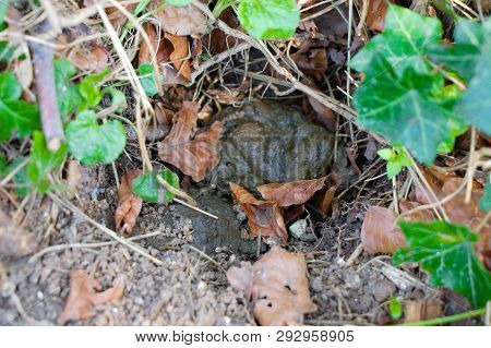 Badger's Latrine With Fresh Poop (signs From Wild Animals)