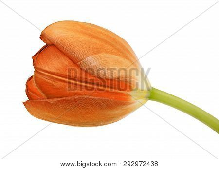 Orange Tulip Flower Isolated On A White Background With Clipping Path. Close-up. Flower Bud On A Gre