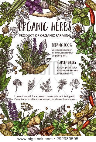 Organic Spices, Cooking Flavoring Herbs And Herbal Seasonings Sketch. Vector Culinary Condiments Nut