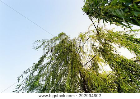 Willow Tree, Also Called Sallow, And Osier, Form The Genus Salix, Around 400 Species Of Deciduous Tr