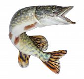 Fish pike isolated. Freshwater alive river fish with scales poster