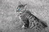 Bengali special breed cat with blue eyes sitting on the grass. In monochrome with only the eyes colored. poster