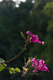 Phanera Purpurea On Dark Background And Rim Light.