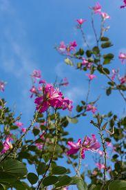 Phanera Purpurea And Blue Sky.