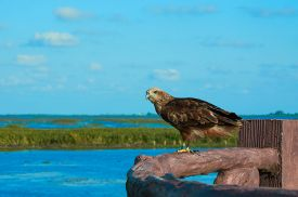 Hawk In The Wild At Thalenoi Wildlife Sanctuary, Phatthalung, Thailand