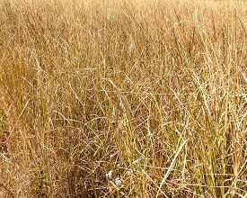 Full Frame View Of Golden Grass Or Wheat Growing In A Field