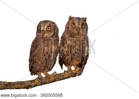 Eurasian Scops Owl Chicks Sitting On Branch Isolated On White Background