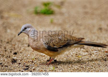 Spotted Dove (spilopelia Chinensis) Sitting On The Ground In Fiji
