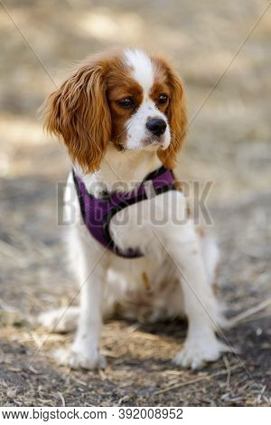 5-Months-Old Blenheim Cavalier King Charles Spaniel Puppy Sitting and Looking Away