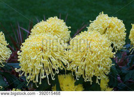 Light Yellow Color Of Spider Mum 'golden Splendour' Flower