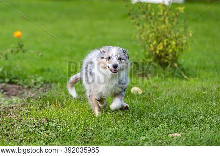 Young Blue Marmor Sheltie Puppy Running Around In Garden.  Photo Taken In Europe, Latvia.