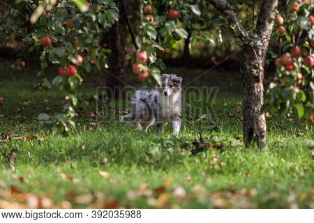 Small, Young Shetland Sheepdog Puppy Sitting In Garden With Autumn Leaves In The Background. Photo T