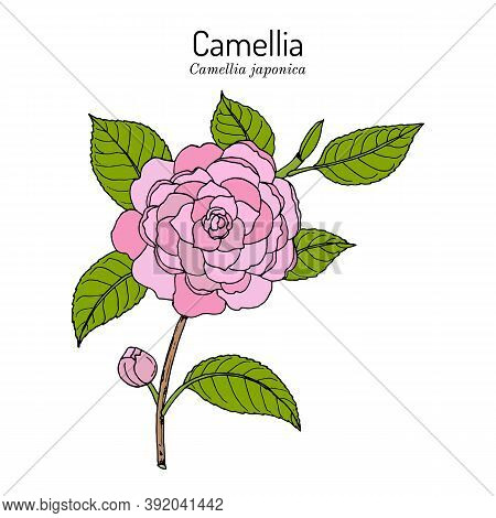 Japanese Camellia Camellia Japonica , Ornamental And Medicinal Plant. Hand Drawn Botanical Vector Il