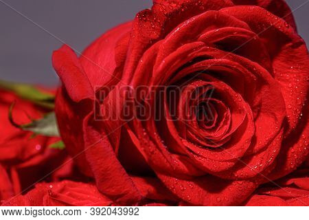 Red Rose In Romantic Background. Pink Rose