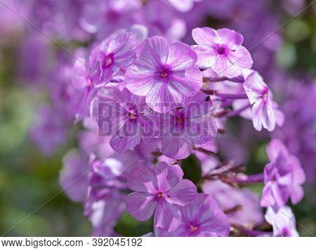 Closeup Of Pretty Pink Flowers Of Phlox Maculata Alpha In A Summer Garden