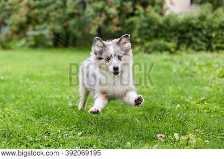 Small Beautiful Shetland Sheepdog Running Around Garden. Photo Taken In Latvia