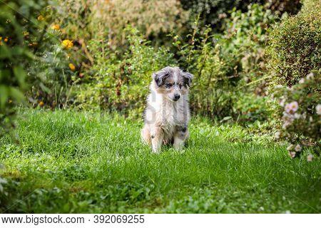 Small Blue Merle Shetland Sheepdog Puppy Sitting In The Garden. Photo Taken In Countryside Garden.