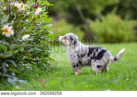 Small Shetland Sheepdog Sheltie Puppy Standing And Smelling Flowers On A Countryside Garden. Photo T