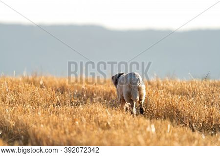 Pointer Pedigree Dog Running Over What Field