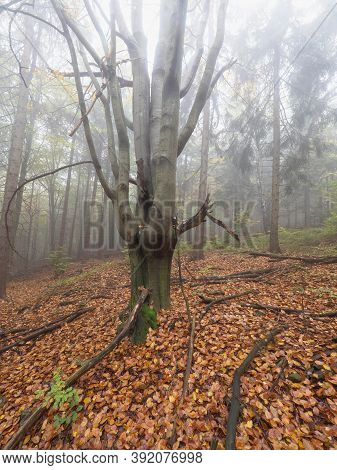 Infested Dying Tree In A Deciduous Forest. Misty Cloudy Weather In Autumn Season.