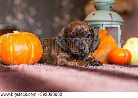 Brindle Brown Dachshund Puppy In Still Life Of Orange Pumpkin Harvest And Autumn Leaves With Lantern