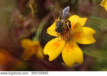 Honeybee Insect Pollinating, Elegant Flower As A Background. Close-up Photo