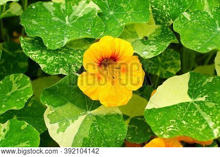 Yellow Nasturtium Flowers, A Herbaceous Plant In Full Bloom