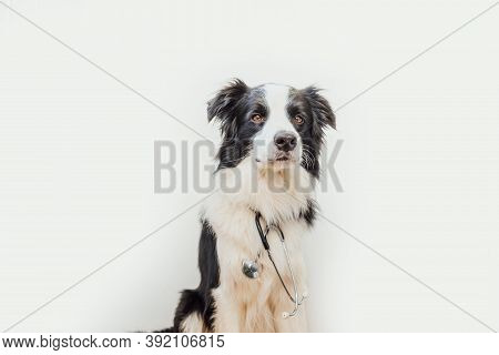 Puppy Dog Border Collie With Stethoscope Isolated On White Background. Little Dog On Reception At Ve