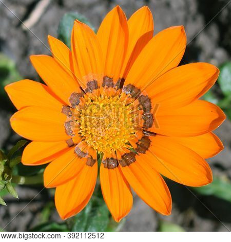 Blooming Orange Gazania Close-up. Square Photography. Top View Of A Flower.