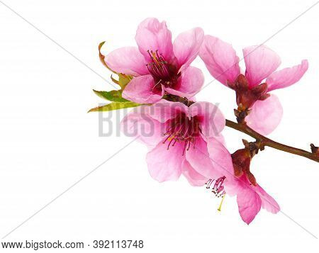 Branch Of Peach Tree With Pink Flowers And Green Leaves