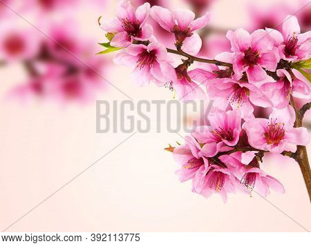 Pink Peach Blossom In Spring, Card Background With Copy Space