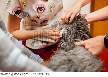 The Vet Checking An Ear Of A Dog At The Vet Clinic, Veterinary Concept