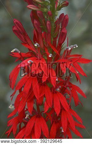 Close-up Image Of Cardinal Flower (lobelia Cardinalis)