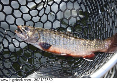 Male Brook Trout With Spawning Colors In A Landing Net