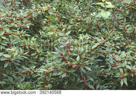 Winterberry Holly (ilex Verticillata 'winter Red'). Called Winter Red Winterberry Holly