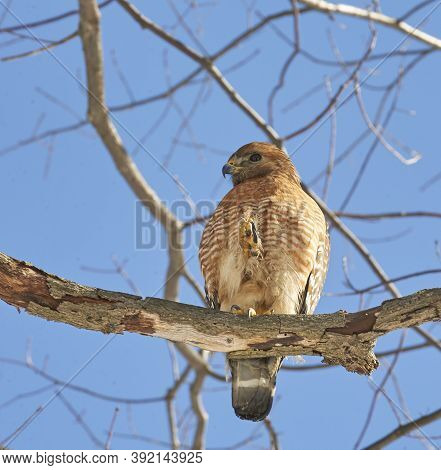 Red-shouldered Hawk Searching For Prey On Bright,sunny Winter Dayred Tailed Hawk Perched In Tree Dur