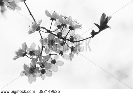 Black And White Photo Of Branch With White Spring Flowers On White Background.