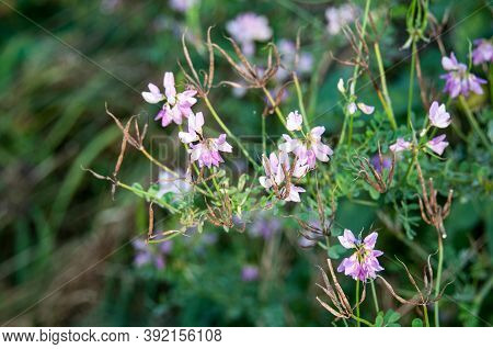 Pink Flowers And Dry Brown Legumes Of A Crown Vetch In A Meadow In Evening Sunlight