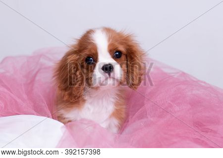 Cavalier King Charles Spaniel Bicolor Red And White Puppy In Pink Organza Looking Surprised On White