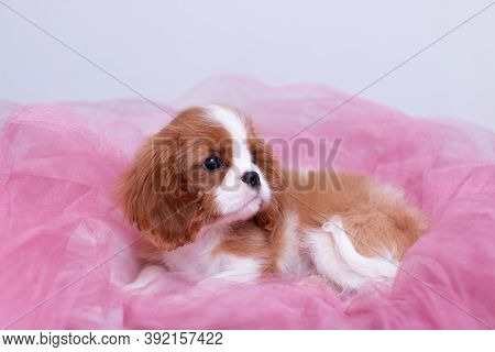 Little Young Red And White Cavalier Cing Charles Spaniel Puppy Laying In Pink Organza On White Backg