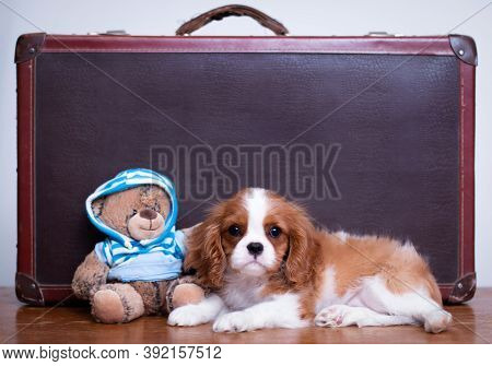 Cavalier King Charles Spaniel Puppy Laying With A Teddy Bear And A Retro Suitcase Indoors