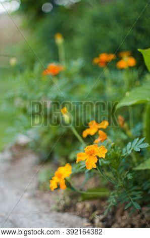 Beautiful Marigolds Bloom Outdoors