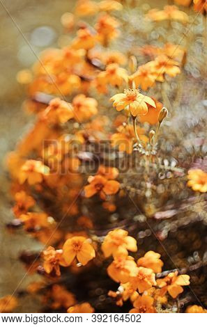 Beautiful Marigolds Bloom Outdoors In Summer Inflorescence,