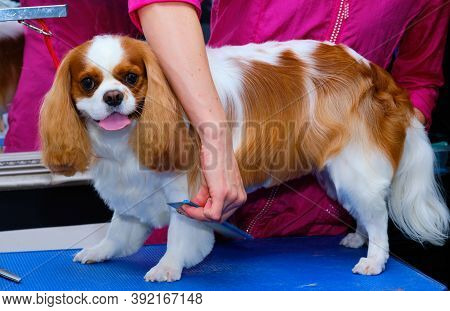 Cavalier King Charles Combs His Hair In The Grooming Room By A Professional Home Groomer.