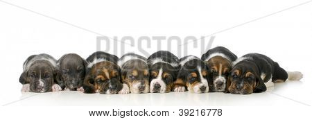 litter of puppies - eight basset hound puppies laying down lined up in a row - 3 weeks old poster